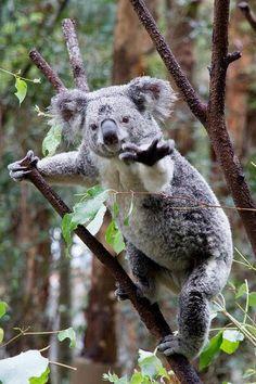 Everybody is kong fu koala?!?!