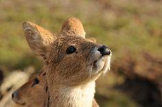 deer fangs cervidae muntjac chinese water deer musk deer Tufted Deer fanged deer chevrotain tragulidae water chevrotain moschidae