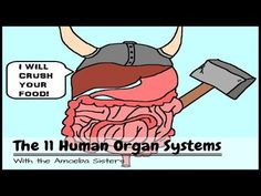 The 11 Human Organ Systems. Your body is incredible! Every second of the day, your organ systems are working together to let you do the things that you do. The Amoeba Sisters provide an introduction to each of the 11 human organ systems to help you differentiate them and understand why they are so important. Come laugh and learn with the Amoeba Sisters! http://www.youtube.com/watch?v=nnjmrrQ6xOs