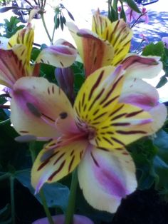 pistil du lys des incas petites fleurs pinterest petite fleur et fleur. Black Bedroom Furniture Sets. Home Design Ideas