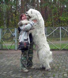 Riesige Hunde, die glauben, dass sie Schoßhunde sind. So niedlich!