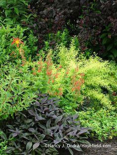 'Sweet Caroline Purple' sweet potato vine (Ipomoea batatas) with 'Fireglow' Griffith's spurge (Euphorbia griffithii), 'Nona's Garnet' daylily (Hemerocallis), 'Lady in Red' Texas sage (Salvia coccinea), 'Mandarin Orange' creeping zinnia (Sanvitalia), Mellow Yellow spirea (Spiraea thunbergii 'Ogon'), and Diabolo ninebark (Physocarpus opulifolius 'Monlo') in mid-July; Nancy J. Ondra at Hayefield