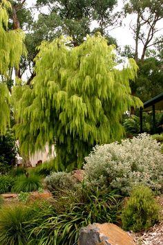 acacia cognata Lime Magik - reminds me of an Ent Australian Garden Design, Australian Native Garden, Australian Plants, Garden Trees, Garden Plants, Outdoor Plants, Outdoor Gardens, Unique Plants, Evergreen Shrubs