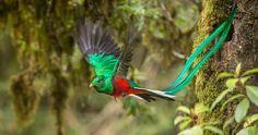 Macho de quetzal en vuelo. A diferencia del macho, la hembra tiene un plumaje de menor colorido y su cola es mucho más corta. Foto: Shutterstock