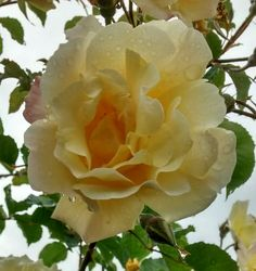 Pretty yellow rose on a wet afternoon