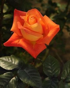with ℒℴѵℯ Beautiful Rose Flowers, Love Rose, Flowers Nature, Amazing Flowers, Orange Flowers, Red Roses, Black Roses, Ronsard Rose, Rose Pictures