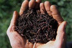 Vermicompostagem+Vermicompostagem+é+o+processo+de+transformar+desperdícios+orgânicos+em