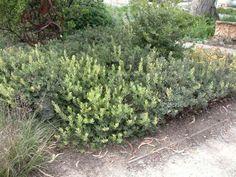 Plant photo of: Arctostaphylos 'Pacific Mist'