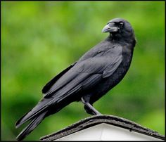 American Crow   Flickr - Photo Sharing! Crow Photos, Birds Photos, Group Of Crows, American Crow, Common Birds, Crows Ravens, Bird Silhouette, Animal Facts, Cover Pics