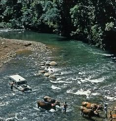 1960 * Land Rover Series II. Mike Andrews, Ben Mackworth-Praed and Martin Hugh-Jones, Cambridge Trans American Expedition crossing a river pulled by ox in Costa Rica.