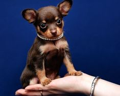 Small Tiny Dogs - 47 Pictures