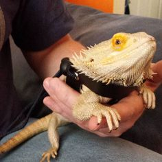 Buddy in his harness for the first time. He gave us no trouble at all. He was pretty nervous being on the lawn for the first time. #beardiebuddy #buddy #beardeddragon #lizard #reptile #spikey #sunday #2015 #fitshace #mister_fitshace #mr_fitshace #misterfitshace #harness