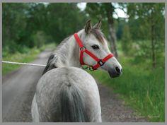 Caspian mare, Ca Za Shakirah.  born: 2006 Sweden.  s: Lanhill Navid Ami (born England) d: Sirhowy Danae (born England)