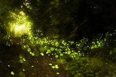 Fireflies lighting up at the event in the Smoky Mountains