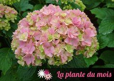 LA PLANTE DU MOIS : l'hortensia YOU&ME® 'Together' - Fiche technique