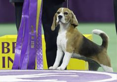 Quiet Canadian(BC)-born beagle Miss P (Peyton) wins Best in Show in at Westminster dog show!!