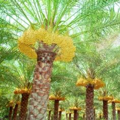 Dates come from a large variety of date palm. The tree grows up to 40ft. tall  and has 8in. spikes. The dates grow in large clusters at top of tree.Peel the date and eat flesh and spit out seeds. The fruit can also be dried and eaten dried.