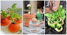 16 fruits et légumes à faire pousser à partir de leurs restes - Guide Astuces : Potager Garden, Balcony Garden, Comment Planter, Garden Online, Plant Cuttings, Flower Planters, Permaculture, Horticulture, Green Beans