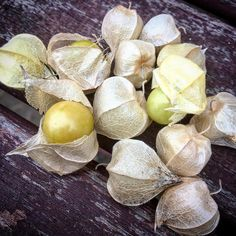 Found some tiny edible treasures under my plum sweetest I've ever had #gooseberry #organic #offgrid #permaculture #tinyhouse #love #slowfood