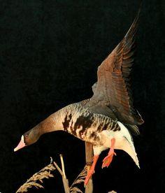 Taxidermy Decor, Taxidermy Display, Bird Taxidermy, Specklebelly Goose, Pheasant Mounts, Duck Mount, Duck Hunting, Shop Plans, Ducks