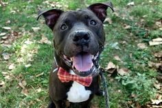 MOUSSE - A1092139 - - Manhattan  Please Share:TO BE DESTROYED 10/09/16  A volunteer writes: Take one part handsome face, two parts affectionate heart, add a sprinkling of gentlemanly manners and top it all off with some dog-friendly, kid-friendly hugs and kisses and what do you have? One very sweet Mousse! He might be a bit out of sorts since losing the only family he's ever known, but Mousse's innate good nature shines through like a light. He's happy to