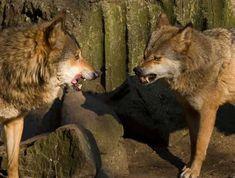 Être un loup dominant demande de l'énergie.