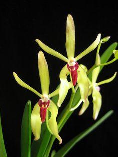 Inter-Generic Orchid-Hybrid: Renantanda Paul Gripp [Renanthera citrina x Vanda cristata] - Flickr - Photo Sharing!