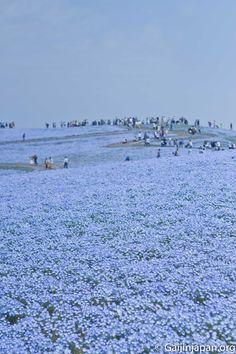 Hitachi Seaside Park et ses fleurs bleues par millions Ibaraki, Hitachi Seaside Park, Linear Park, Jolie Photo, Great Places, Scene, Earth, Mountains, Landscape