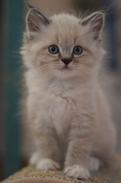 Ragdoll Kitten - Cats DSC_0061 by lalalaurie's photos on Flickr