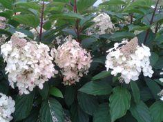 Hydrangea paniculata DIAMANTINO ® 'Ren101' - Sélection compacte très florifère. Hauteur moyenne. Inflorescence blanc rosé, plus ronde que les autres paniculata. Diffusion SAPHO Hydrangea Paniculata, Sapho, Diffusion, Rose, White People, Pink, Roses