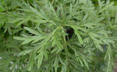 El ajenjo, es una planta herbácea nativa de las regiones templadas de Europa y África, tiene grandes propiedades y características curativas que eran conocidas incluso por las civilizaciones antiguas de Egipto y Grecia, por lo que se le considera una planta medicinal. En la actualidad, el ajenjo es cultivado en distintos países gracias a su …