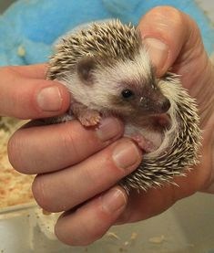 Hedgehogs are sooo cute! Always wanted one until I held one, not soft and cuddly at all! Plus my cat would eat it so....