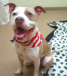 Petango.com – Meet Kilo, a 5 years 1 month Terrier, Pit Bull / Mix available for adoption in PALM CITY, FL