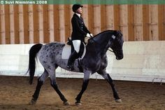 Linda V. a Lipizzan mare who looks be blue roan
