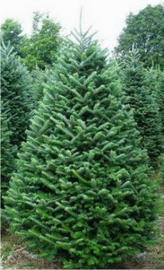 This picture shows a farm produced Fraser fir Christmas tree. Hilltop Christmas Tree Farms delivers individual Christmas trees to customers located across the United States as well as Canada. Real Xmas Trees, Types Of Christmas Trees, Cool Christmas Trees, Merry Christmas, Christmas Time, Christmas Ideas, Holiday Ideas, Christmas Decor, Noble Fir Tree