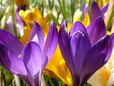 Açafrão, Flores, Colorido, Cor