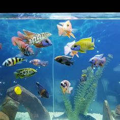 The Fish Community Of Cichlids Tank - Goldfish Aquarium, Cichlid Aquarium, Cichlid Fish, Tropical Fish Aquarium, Tropical Fish Tanks, Aquarium Fish Tank, Goldfish Tank, Tropical Freshwater Fish, Freshwater Aquarium Fish