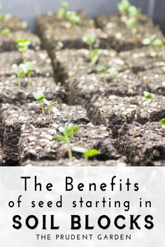 Using soil blocks for seed starting is a great alternative to sterile seed starting mixes or potting soil.This comparison took place throughout the process.