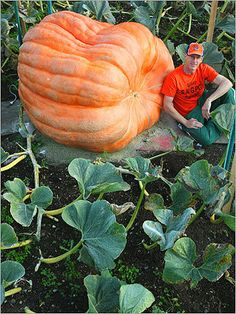 Atlantic Giant Pumpkin - anyone for pumpkin chili, soup, Slow Cooker Maple Pumpkin Spice Lattes, pie, casserole, muffin, tart, brioche, pumpkin lentil pasta, apple pumpkin japanese chicken curry rice, two-layer pumpkin pudding, Buttermilk Pumpkin Waffles, Pumpkin Pancakes, Pumpkin Milkshake, Pumpkin Scones, Pumpkin hummus,  Pumpkin, Duck Confit & Feta Panini, Pumpkin Pie Quinoa Parfaits?
