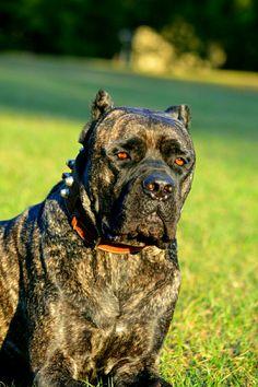 Cane Corso Italiano Mastiff, Crixus Cane Corso Mastiff, Cane Corso Dog, Beautiful Dog Breeds, Beautiful Dogs, Black Cane Corso, Bred Pit, Presa Canario, Huge Dogs, Mans Best Friend