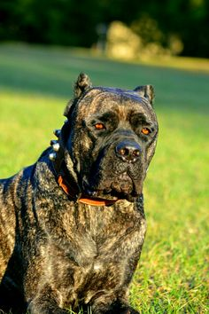 1000 Images About Cane Corso On Pinterest Cane Corso Cane Corso Puppies And Cane Corso Mastiff