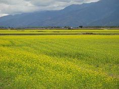 菜の花、一面に  美しい風景織り成す/台湾・花蓮 | 社会 | 中央社フォーカス台湾 MOBILE