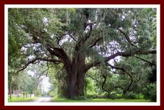 Southern Live Oak Tree: a symbol of strength. The leaves remain green throughout the winter.