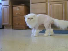 Funny shaved cat