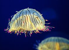 Flower Hat Jelly