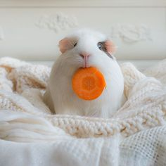 BooBoo the Guinea Pig and Friends: The Photo Series