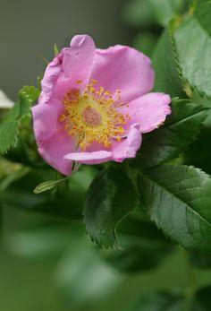 'Rosa virginiana'  Species / Wild Rose    Flickr - © steffi's