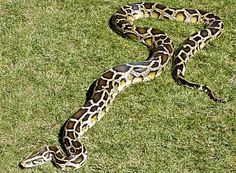 The largest subspecies of Indian python, and one of the 6 largest snakes in the world, the Burmese python has an average length of 12 feet (3.7 meters), but has been found at lengths of up to 19 feet (5.8 meters) and of course there have been many exaggerated claims.