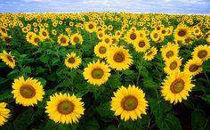 Sunflower sea