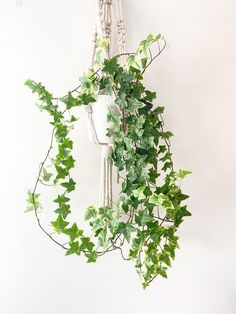 English Ivy Care and Display